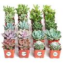 20-pack of Live Succulent Plants $26.39
