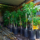 Free Trees for Los Angeles Residents
