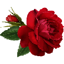 FREE Roses with FREE Delivery