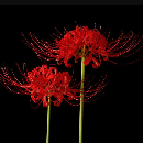 FREE Set of Red Spider Lily Bulbs